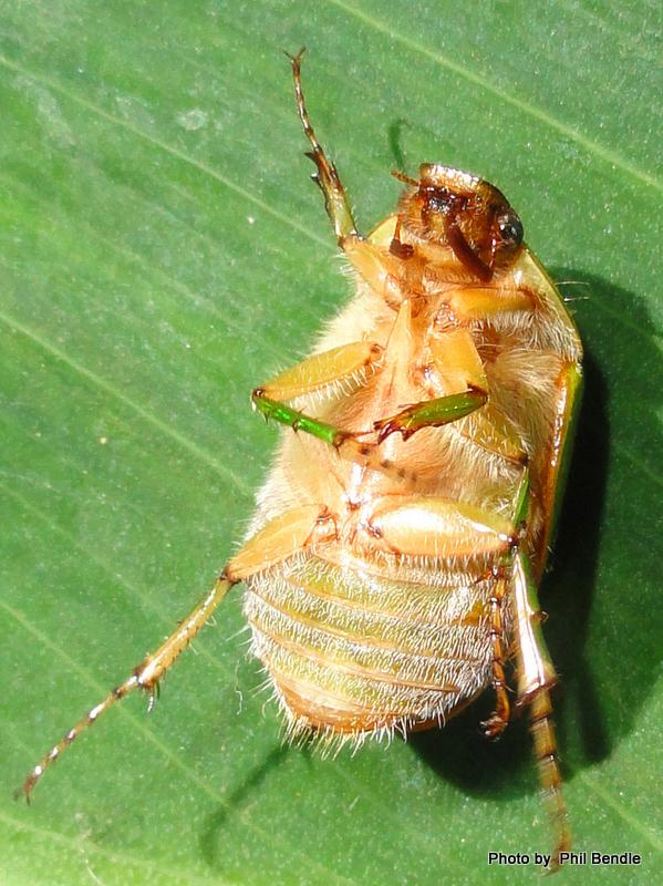 Stethaspis suturalis Tanguru Chafer.JPG
