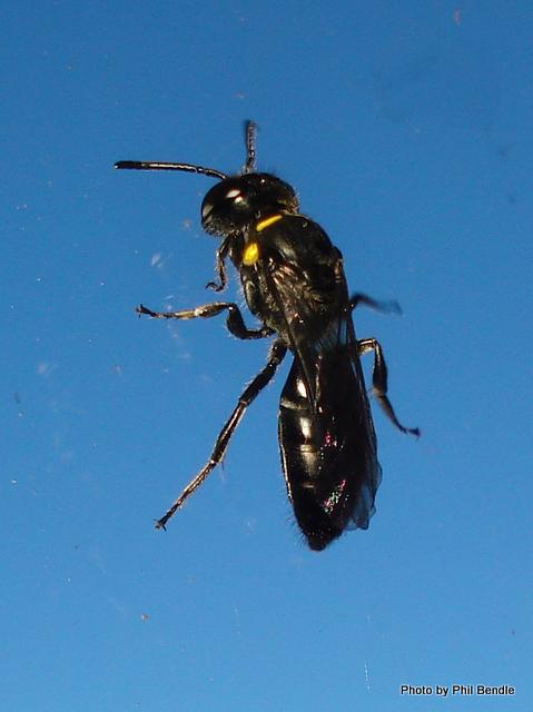 Yellow masked Bee Hylaeus spp. -12.JPG