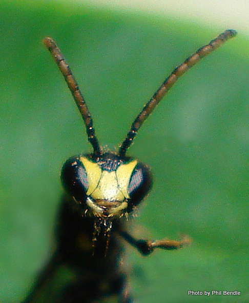 Yellow masked Bee Hylaeus spp. -2.JPG