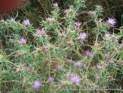 Phil Bendle Collection:Centaurea calcitrapa (Star thistle)