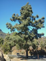 Phil Bendle Collection:Pinus canariensis (Canary Islands Pine)
