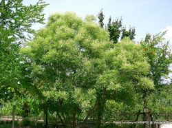 Phil Bendle Collection:Fraxinus chinensis (Chinese ash)