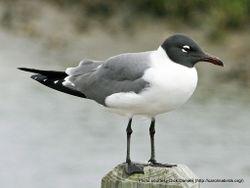 Phil Bendle Collection:Gull (Laughing) Leucophaeus atricilla