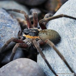 Phil Bendle Collection:Water spider (Dolomedes aquaticus)