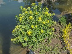 Phil Bendle Collection:Euphorbia lathyris (Caper spurge)
