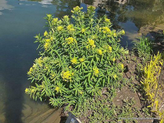 1-1-Euphorbia lathyris 03.jpg