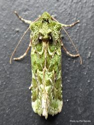 Phil Bendle Collection:Feredayia graminosa (Mahoe stripper moth)