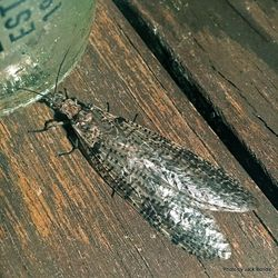 Phil Bendle Collection:Dobsonfly (Archichauliodes diversus) NZ Dobsonfly