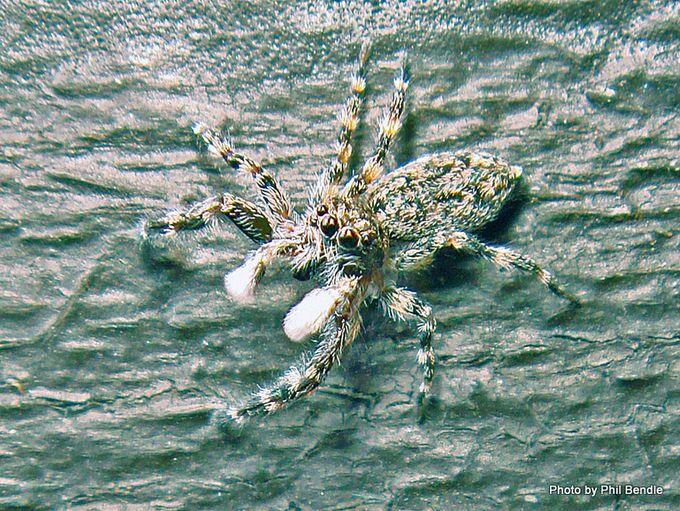 1-1-Jumping spider 6 mm.JPG