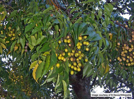 1-1-Melia azedarach fruits (2).JPG