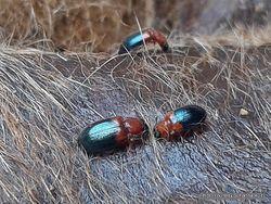Phil Bendle Collection:Beetle (Ham beetle) Necrobia ruficollis