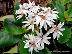 Phil Bendle Collection:Olearia allomii (Great Barrier Tree Daisy)