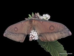 Phil Bendle Collection:Opodiphthera eucalypti (Gum emperor moth)