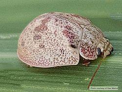 Phil Bendle Collection:Beetle (Eucalyptus tortoise) Paropsis charybdis