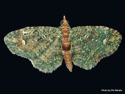 Phil Bendle Collection:Pasiphila bilineolata (hebe moth)