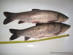 Phil Bendle Collection:Carp (Chinese grass carp) Ctenopharyngodon idella