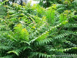 Phil Bendle Collection:Ailanthus altissima (Tree of heaven)
