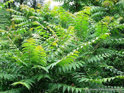 1-1024px-Ailanthus altissima-1.jpg