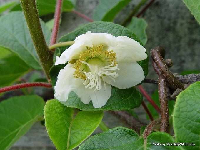 1-1024px-Kiwi-Flower, male.jpg