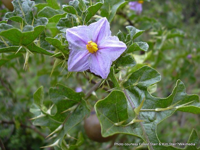 1-1024px-Starr 030628-0107 Solanum linnaeanum.jpg