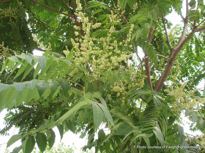 1-1280px-AilanthusAltissimaFlower2.jpg