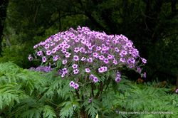 Phil Bendle Collection:Geranium maderense (Giant Herb Robert)