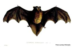 Phil Bendle Collection:Bat (Longtail) Chalinolobus tuberculatus