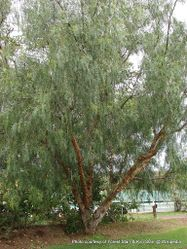 Phil Bendle Collection:Schinus molle (Peruvian pepper tree)