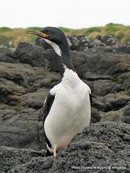 Phil Bendle Collection:Shag (Auckland Island) Leucocarbo colensoi