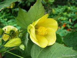 Phil Bendle Collection:Abutilon hybridum (Abutilon 'Lemon Queen')