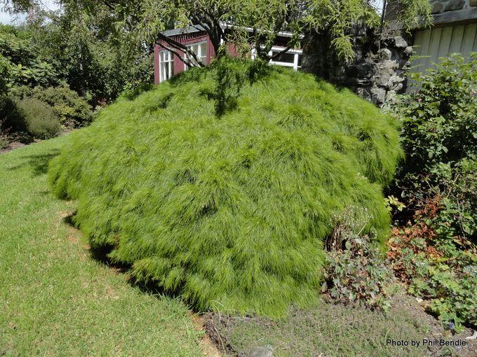 1-Acacia cognata Limelight -001.JPG