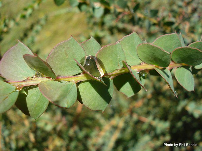 1-Acacia pravissima-003.JPG