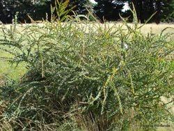 Phil Bendle Collection:Acacia pravissima (Oven s wattle)