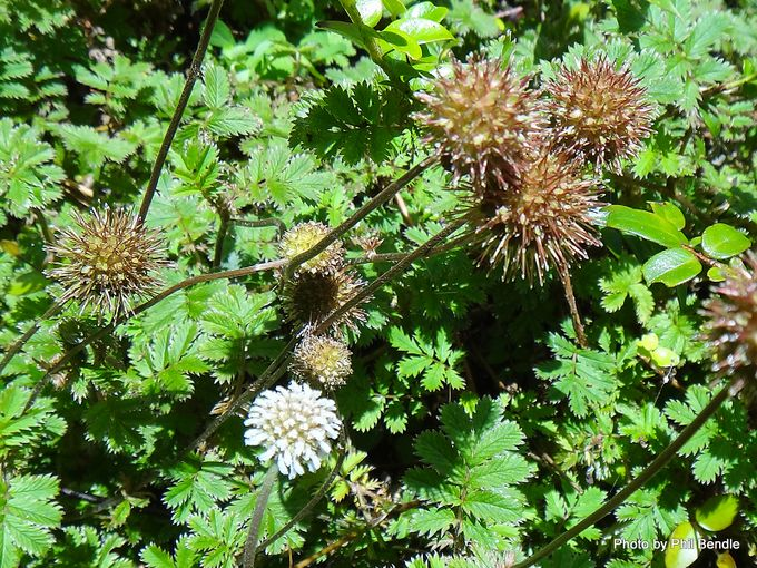 1-Acaena anserinifolia Piripiri -001.JPG