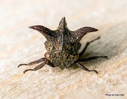 Phil Bendle Collection:Hopper (Tri-horned treehopper) Acanthuchus trispinifer