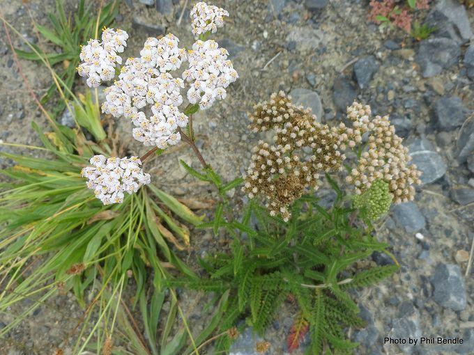 1-Achillea millefolium Yarrow.JPG