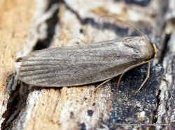Phil Bendle Collection:Achroia grisella (Lesser wax moth)
