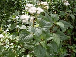 Phil Bendle Collection:Ageratina adenophora (Mexican Devil)