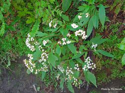 Phil Bendle Collection:Ageratina riparia (Mistflower)