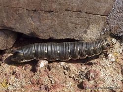 Phil Bendle Collection:Caterpillar of Convolvulus Hawk-moth (Agrius convolvuli)