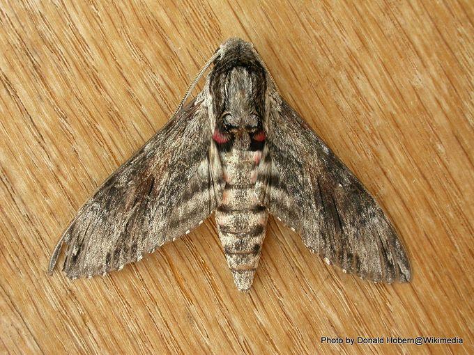 1-Agrius convolvuli by Donald Hobern.jpg