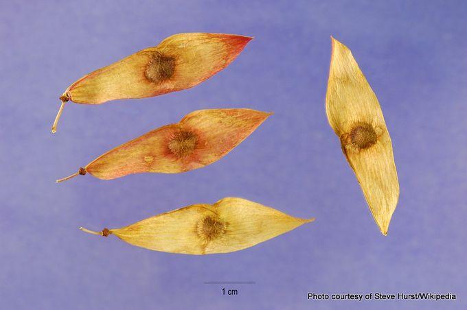 1-Ailanthus altissima seeds.jpg