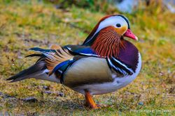 Phil Bendle Collection:Duck (Mandarin) Aix galericulata