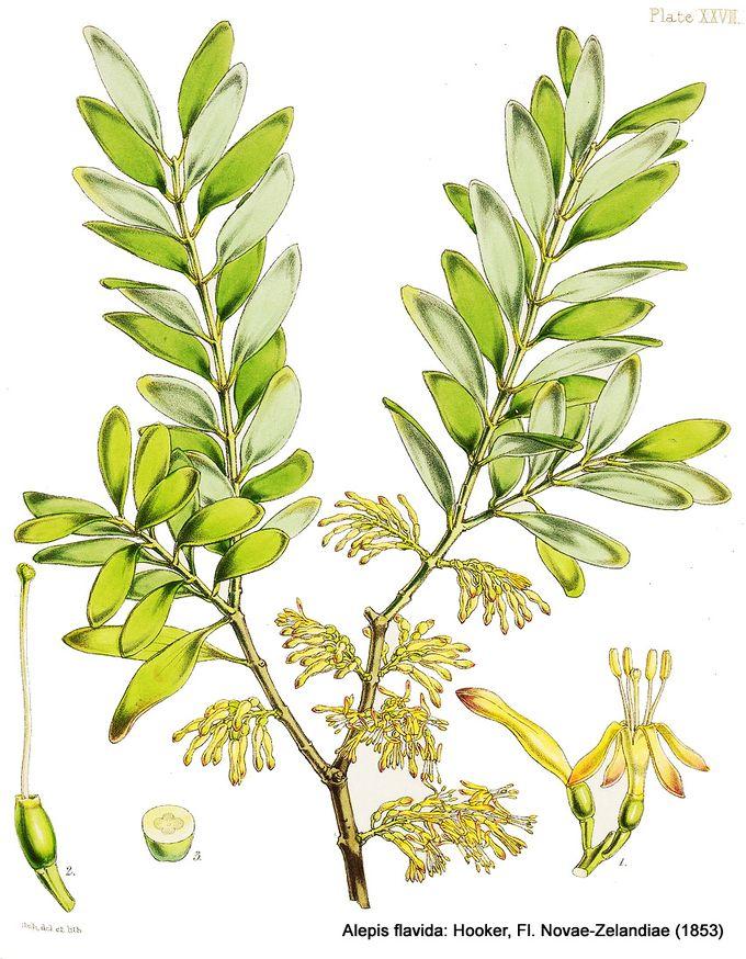 1-Alepis flavida.jpg
