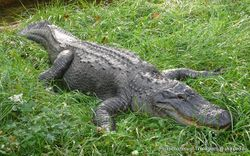 Phil Bendle Collection:Alligator (American)Alligator mississippiensis