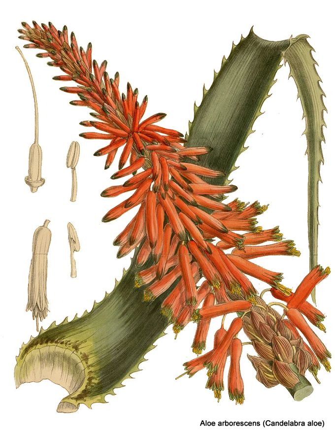 1-Aloe arborescens.jpg
