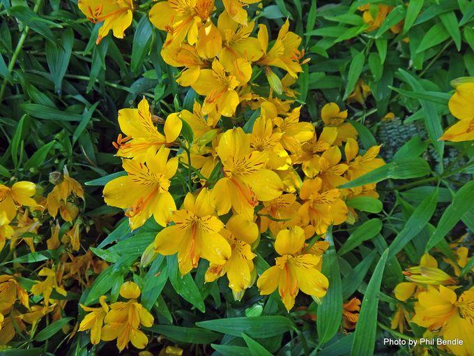 1-Alstroemeria aurea Peruvian lily -001.JPG