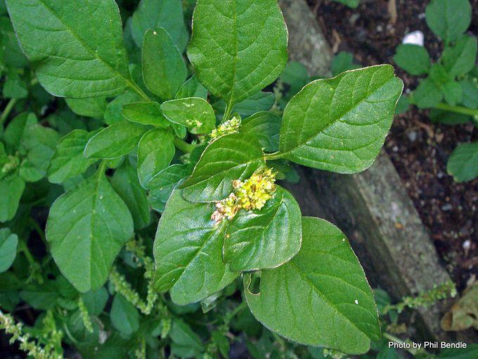 1-Amaranthus lividus-002.JPG