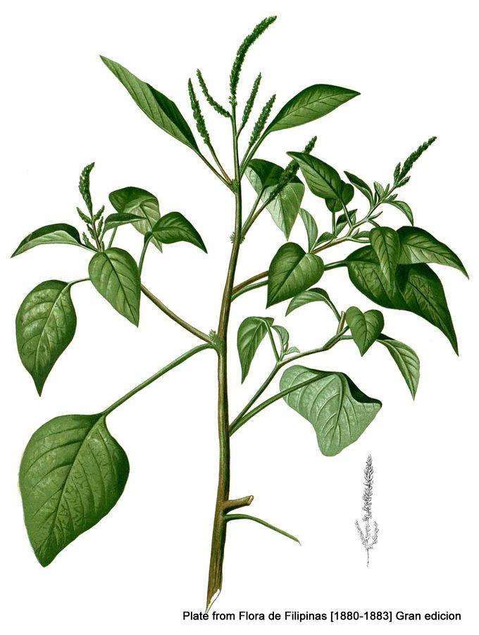 1-Amaranthus viridis .jpg