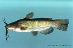 Phil Bendle Collection:Catfish (Ameiurus nebulosus)